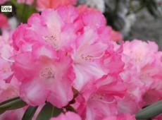 Rhododendron yakushimanum 'Marlis'