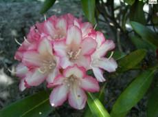 Rhododendron yakushimanum 'Minikin'