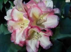 Rhododendron yakushimanum 'Napoli'