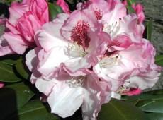 Rhododendron yakushimanum 'Nicoletta' ®