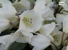 Rhododendron yakushimanum 'Pfirsichcocktail'