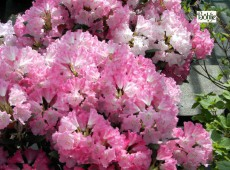 Rhododendron yakushimanum 'Pußtafeuer'