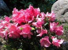 Rhododendron yakushimanum 'Rumpelstilzchen'