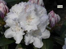 Rhododendron yakushimanum 'Schneekrone'