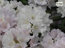 Rhododendron yakushimanum 'Schneewolke'