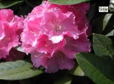 Rhododendron yakushimanum 'Schneverdingen'
