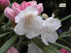 Rhododendron yakushimanum 'Schwanensee'