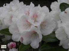 Rhododendron yakushimanum 'Seidenglanz'