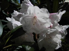 Rhododendron yakushimanum 'Seven Stars'