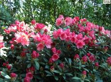 Rhododendron yakushimanum 'Shrimp Girl'