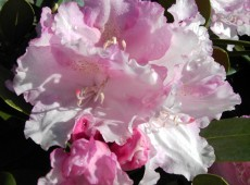 Rhododendron yakushimanum 'Silberwolke'