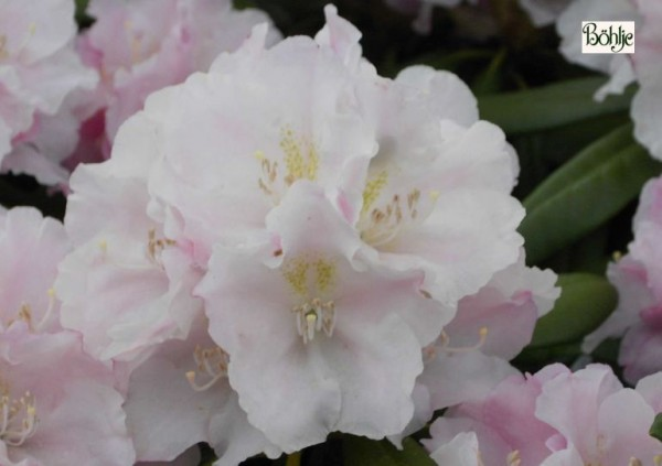 Rhododendron yakushimanum 'Silver Lady'