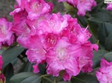 Rhododendron yakushimanum 'Tatjana'