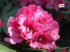 Rhododendron yakushimanum 'Tinja Heinje'