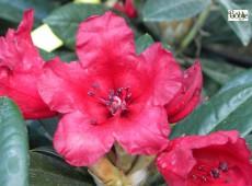 Rhododendron yakushimanum 'Titian Beauty'