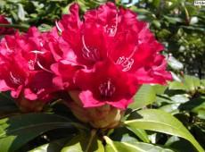 Rhododendron yakushimanum 'Walter Braukmann'