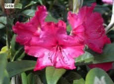 Rhododendron smirnowii 'Weinlese'