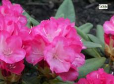 Rhododendron yakushimanum 'Woriade'