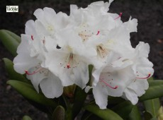Rhododendron yakushimanum 'Yours Truly'