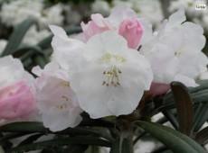 Rhododendron yakushimanum x makinoi
