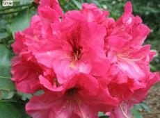 Rhododendron Hybride 'Accomac'