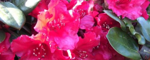 Rhododendron williamsianum Hybride