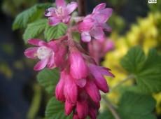 Ribes sanguineum 'King Edward VII' -Blutjohannisbeere-