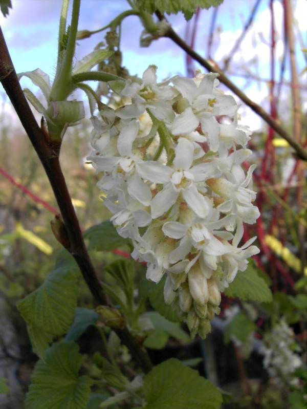 Ribes sanguineum 'White Icicle'