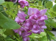 Robinia hispida 'Macrophylla' -borstige Robinie-