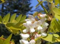 Robinia pseudoacacia 'Frisia' -Goldakazie-