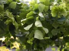 Robinia pseudoacacia 'Twisty Baby' ® -Scheinakazie-