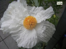 Romneya coulteri -kalifornischer Baummohn-