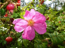 Rosa rugosa -Apfelrose-