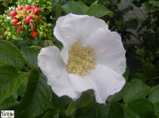 Rosa rugosa 'Alba' - weiße Apfelrose-