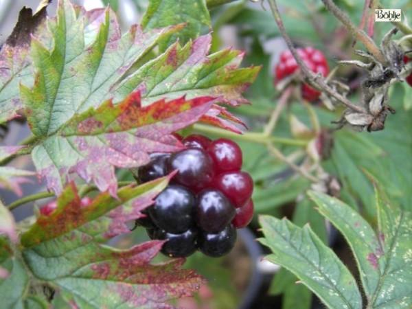 Rubus fruticosa 'Thornless Evergreen' -Brombeere-