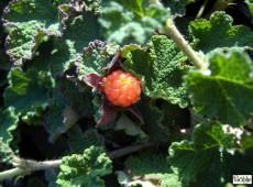 Rubus pentalobus 'Emerald Carpet' (calycinoides) -Kriechhimbeere-