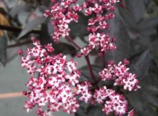 Sambucus nigra 'Black Beauty' ® -rotlaubige Fliederbeere-