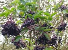 Sambucus nigra -schwarzer Holunder-