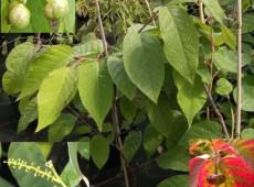 Sapium japonicum -Talgbaum-