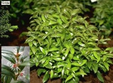 Sarcococca humilis -Schleimbeere-