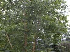 Sequoia sempervirens -Küsten-Mammutbaum / Redwood-