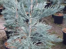 Sequoiadendron giganteum 'Glaucum' -blauer kalifornischer Mammutbaum-