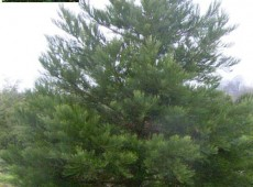 Sequoiadendron giganteum -Mammutbaum-