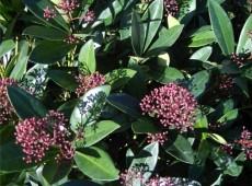 Skimmia japonica 'Rubella' -Blütenskimmie-