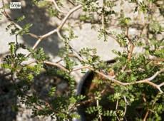 Sophora 'Little Baby' -Schnurbaum-