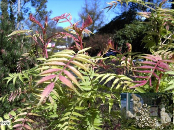 Sorbaria sorbifolia 'Sem' -niedrige Fiederspiere-