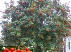 Sorbus aria 'Magnifica' -Mehlbeere-