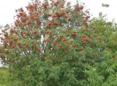 Sorbus aucuparia -Eberesche-