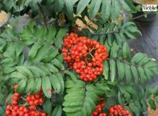 Sorbus aucuparia 'Fastigiata' -Säuleneberesche-