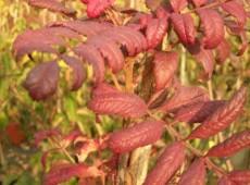 Sorbus domestica -Speierling-